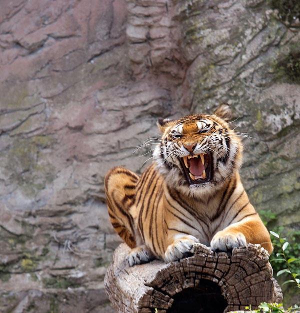 Tiger at Bioparco, Rome