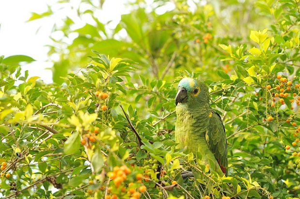 Pantanal Parrot