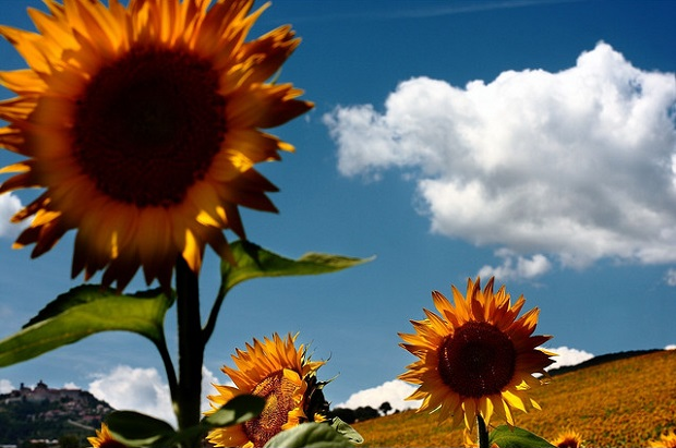 Marche sunflowers
