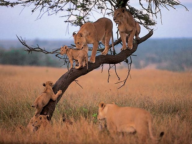Lion Family Tree