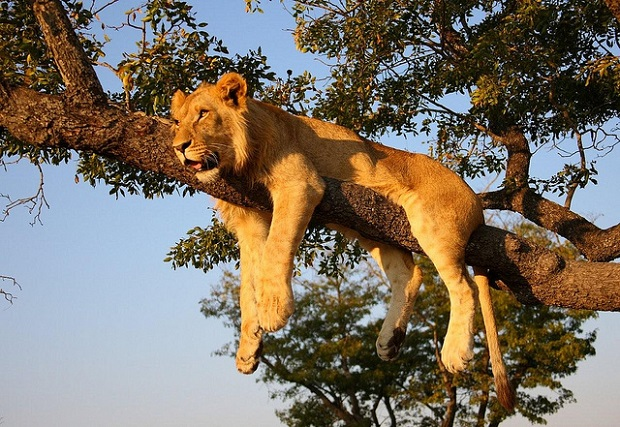 Lion napping on a tree