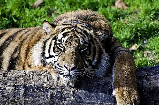 Lisbon Zoo Bengal Tiger