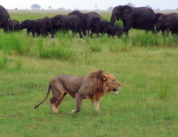 Male Lion watching over the Elephants