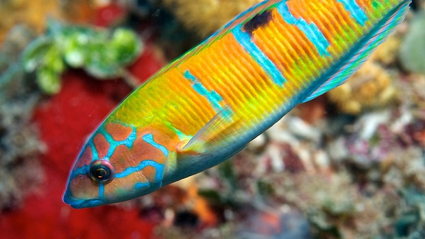 Murcia Ornate Wrasse