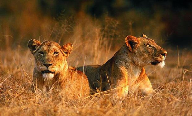 Pictures Of Lions In The Wild | www.pixshark.com - Images ...