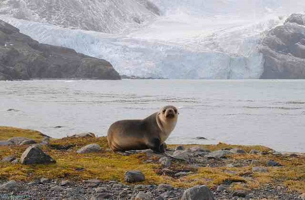 Antarctic, Seal